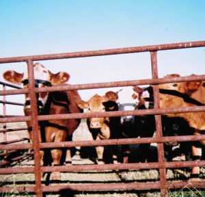 Gathering of mama cows